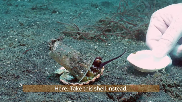 2 - Mergulhador convence bebê polvo a deixar copo plástico para morar em uma concha