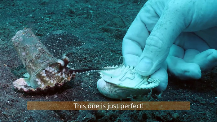 6 - Mergulhador convence bebê polvo a deixar copo plástico para morar em uma concha