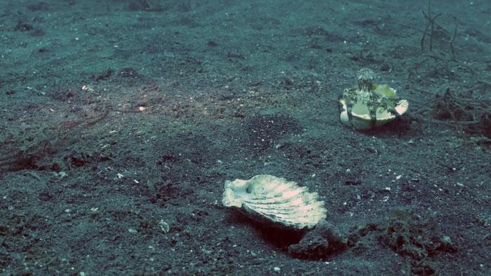8 - Mergulhador convence bebê polvo a deixar copo plástico para morar em uma concha