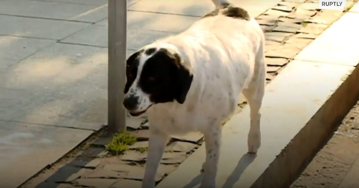 cachorro de rua ajuda criancas de uma escola a atravessar a rua parando carros com latidos 3 - Cachorro de rua ajuda crianças de uma escola a atravessar a rua parando carros com latidos