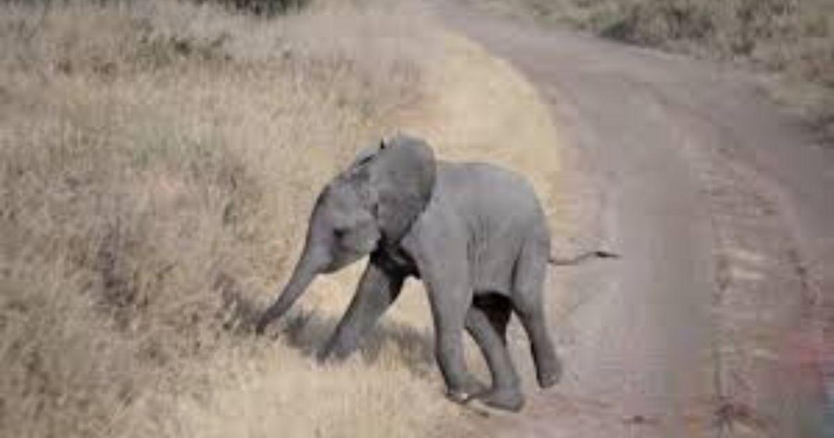 elefante 4 - Veja esse bebê elefante fazendo birra como uma criança humana