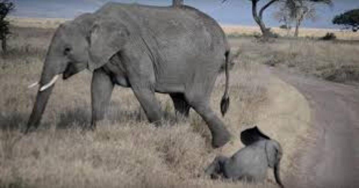elefante - Veja esse bebê elefante fazendo birra como uma criança humana