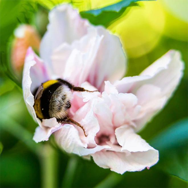 """tired bumblebees12 - Fotos de abelhas dormindo em flores com o """"bumbum para fora"""" viralizam"""