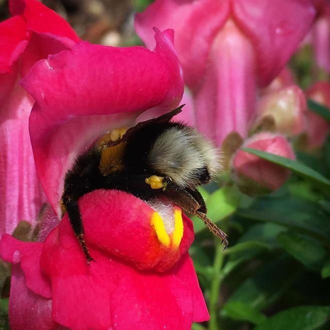 """tired bumblebees14 - Fotos de abelhas dormindo em flores com o """"bumbum para fora"""" viralizam"""