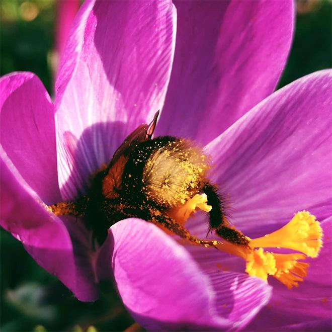 """tired bumblebees15 - Fotos de abelhas dormindo em flores com o """"bumbum para fora"""" viralizam"""