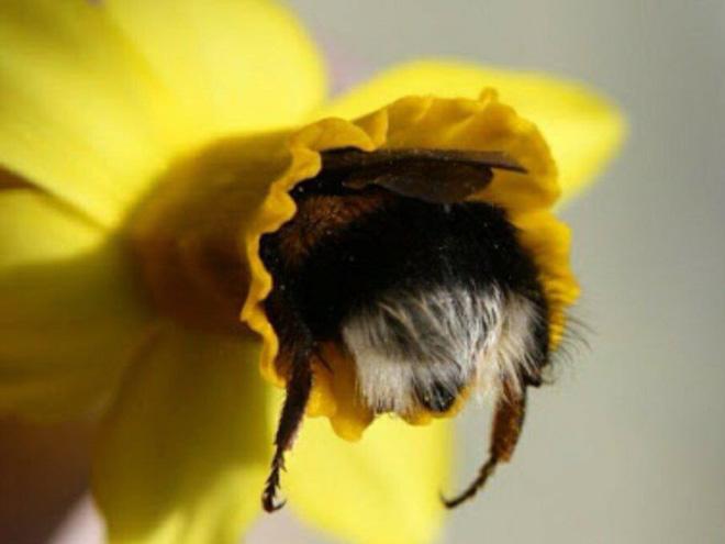"""tired bumblebees3 - Fotos de abelhas dormindo em flores com o """"bumbum para fora"""" viralizam"""