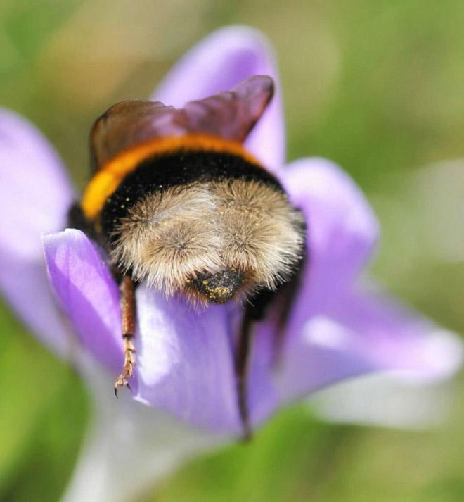 """tired bumblebees4 - Fotos de abelhas dormindo em flores com o """"bumbum para fora"""" viralizam"""