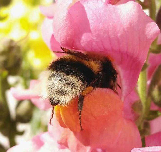 """tired bumblebees5 - Fotos de abelhas dormindo em flores com o """"bumbum para fora"""" viralizam"""