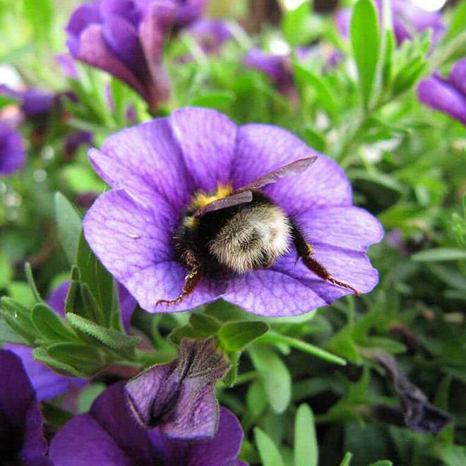 """tired bumblebees6 - Fotos de abelhas dormindo em flores com o """"bumbum para fora"""" viralizam"""