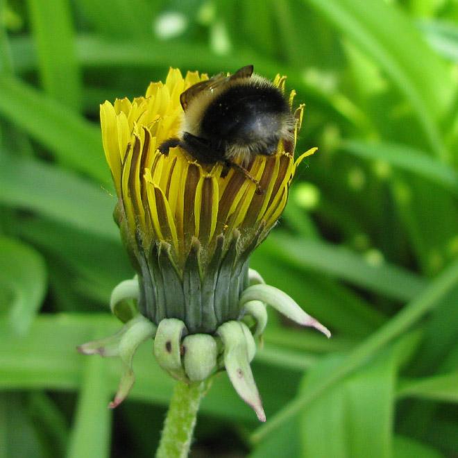 """tired bumblebees7 - Fotos de abelhas dormindo em flores com o """"bumbum para fora"""" viralizam"""