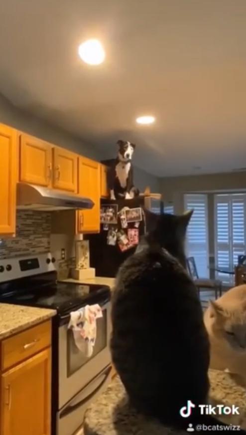 2020 07 15 18 - Este cachorro está convencido de que é um gato e faz sucesso na internet