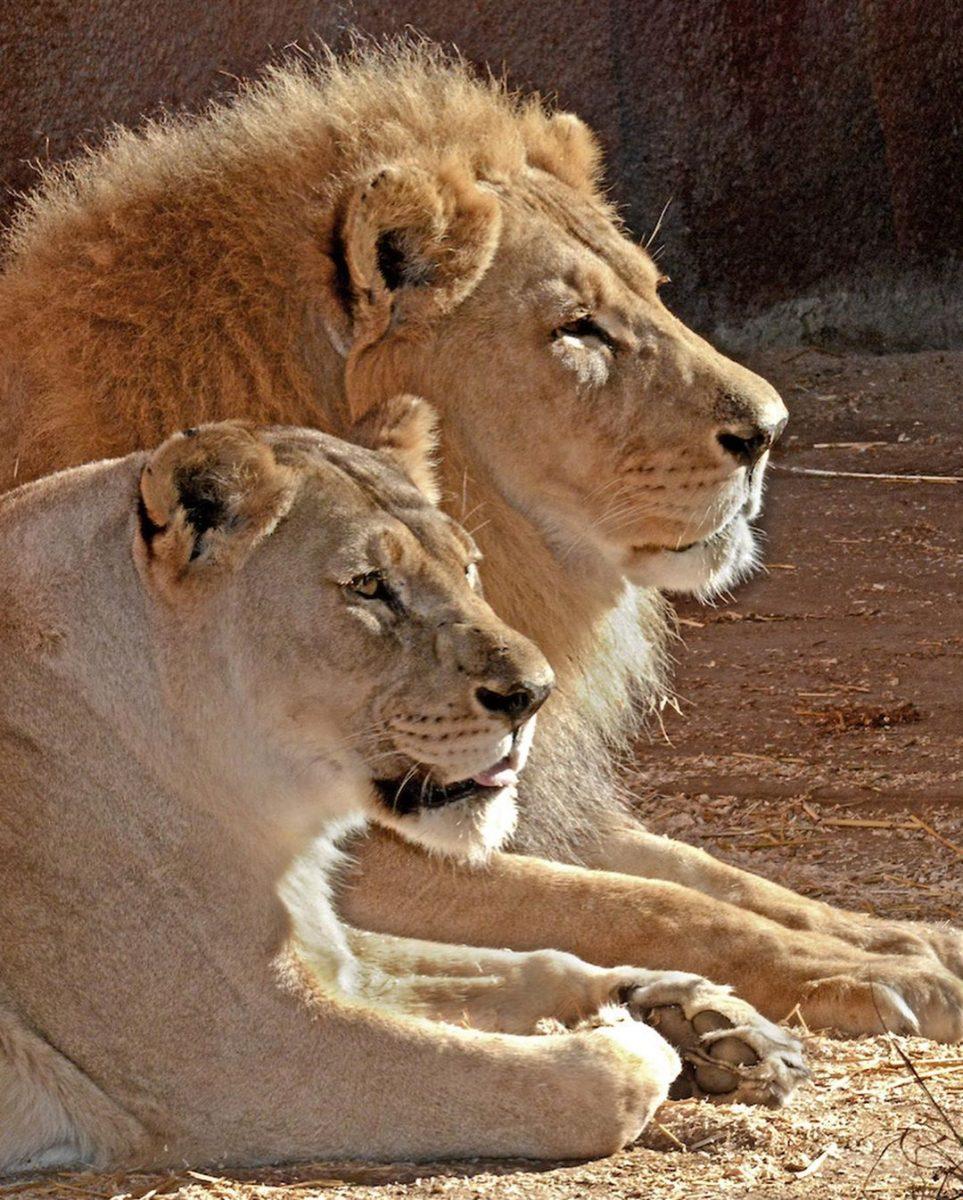 116134619 615501672276103 8393416442203460910 n scaled - Casal de leões idosos que eram almas gêmeas morre junto para não viverem um sem o outro