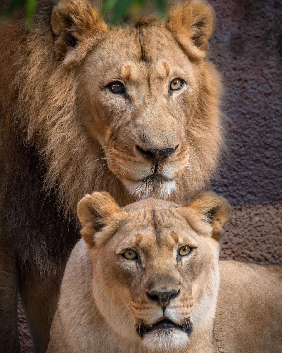 116172549 2688269724758894 3487066449454523174 n scaled - Casal de leões idosos que eram almas gêmeas morre junto para não viverem um sem o outro