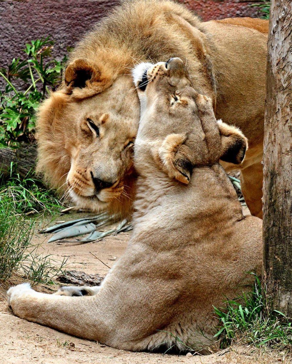 116429930 600973830834085 2923755622185506846 n scaled - Casal de leões idosos que eram almas gêmeas morre junto para não viverem um sem o outro