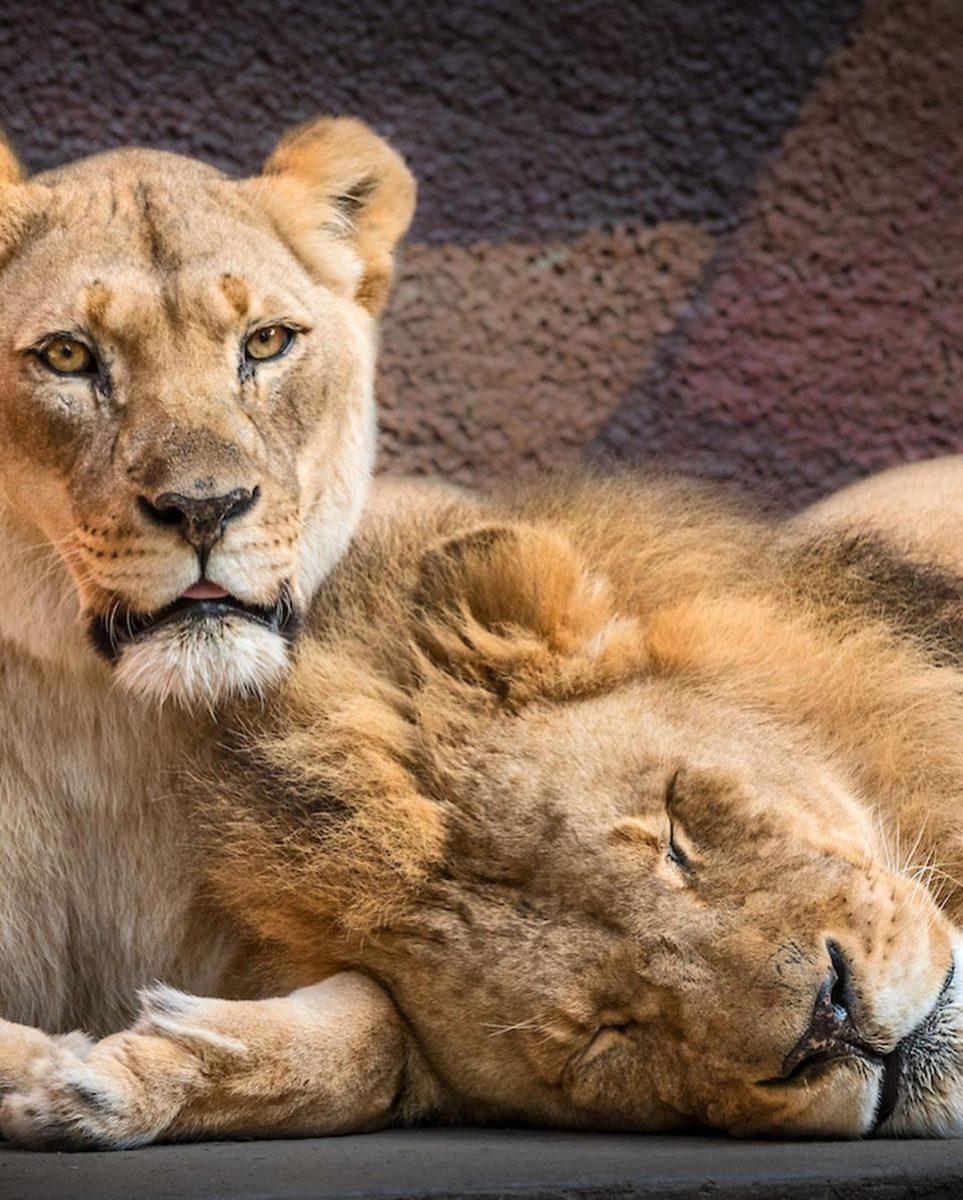 116537807 2745600652342865 3076130269191756607 n scaled - Casal de leões idosos que eram almas gêmeas morre junto para não viverem um sem o outro