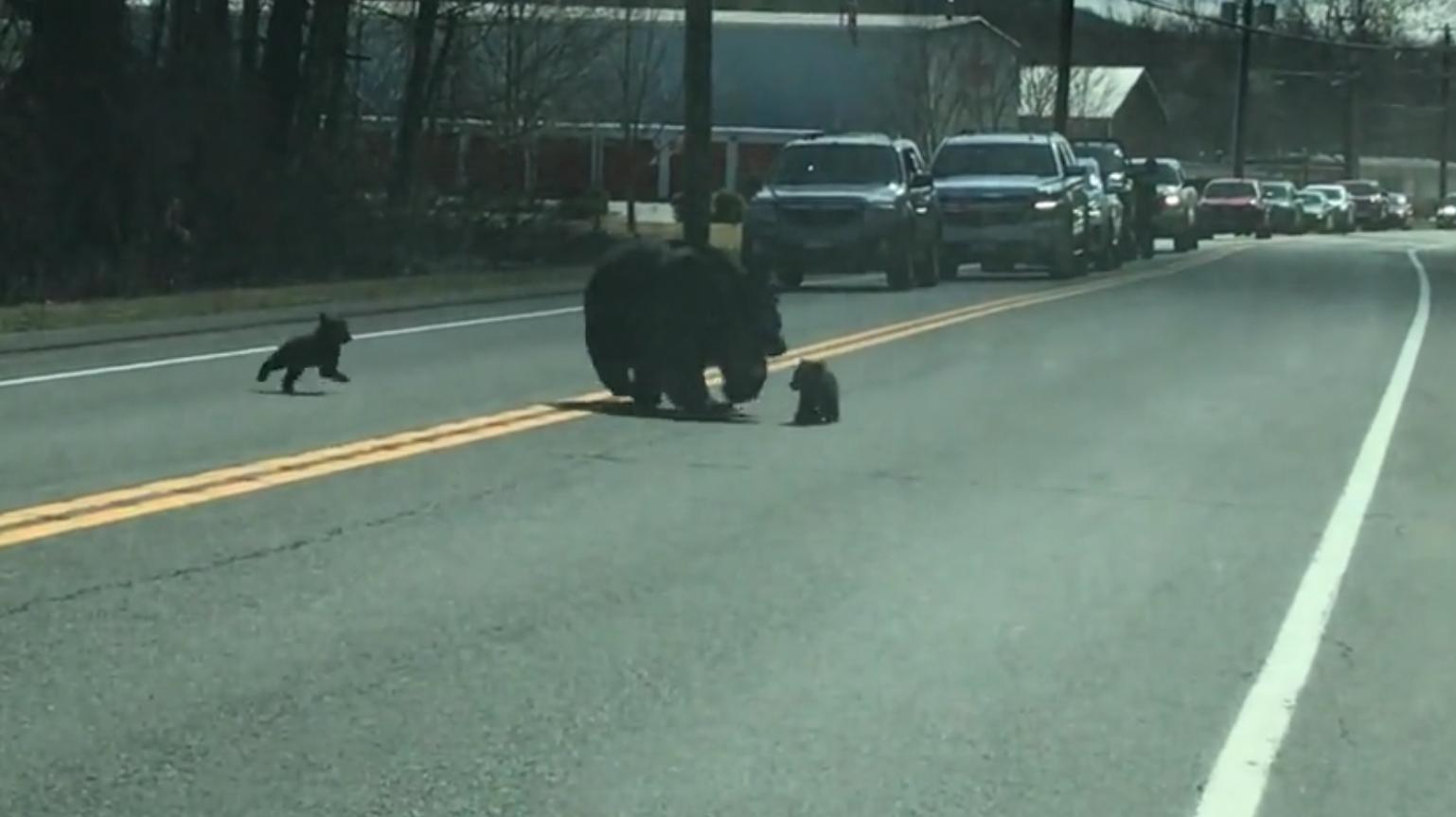 2021 04 05 6 - Vídeo divertido de uma mamãe urso lutando para levar quatro filhotes para o outro lado da estrada