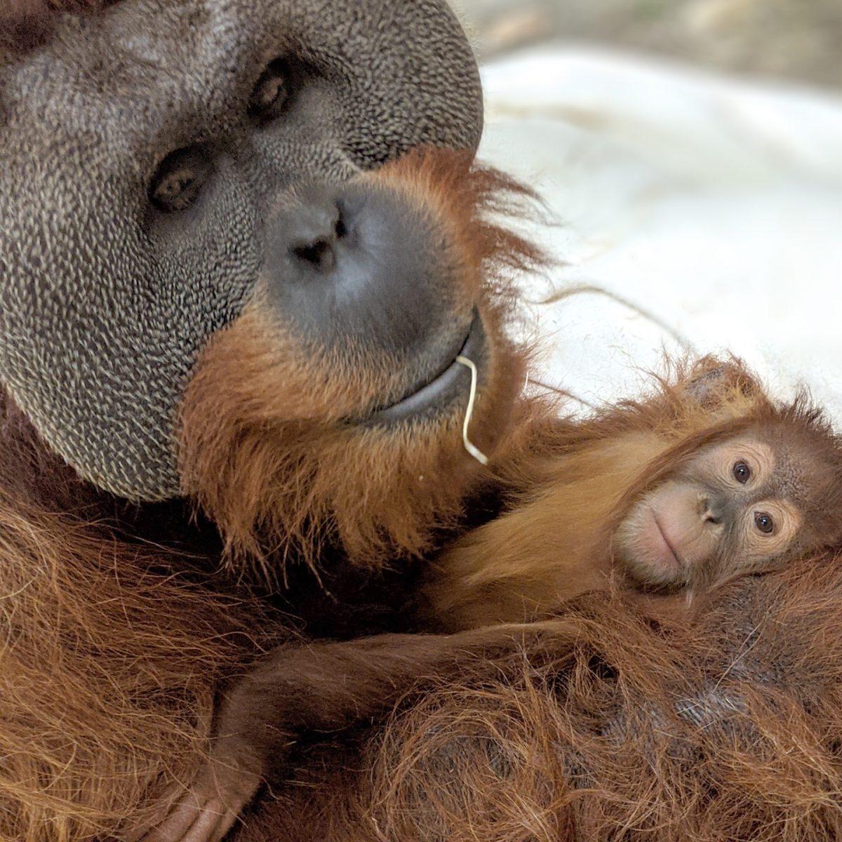 orangotango macho cuida da filha depois da morte da mae e comove zoologico 2 scaled - Orangotango macho cuida da filha depois da morte da mãe e comove zoológico