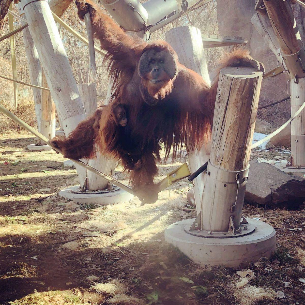 orangotango macho cuida da filha depois da morte da mae e comove zoologico 3 scaled - Orangotango macho cuida da filha depois da morte da mãe e comove zoológico
