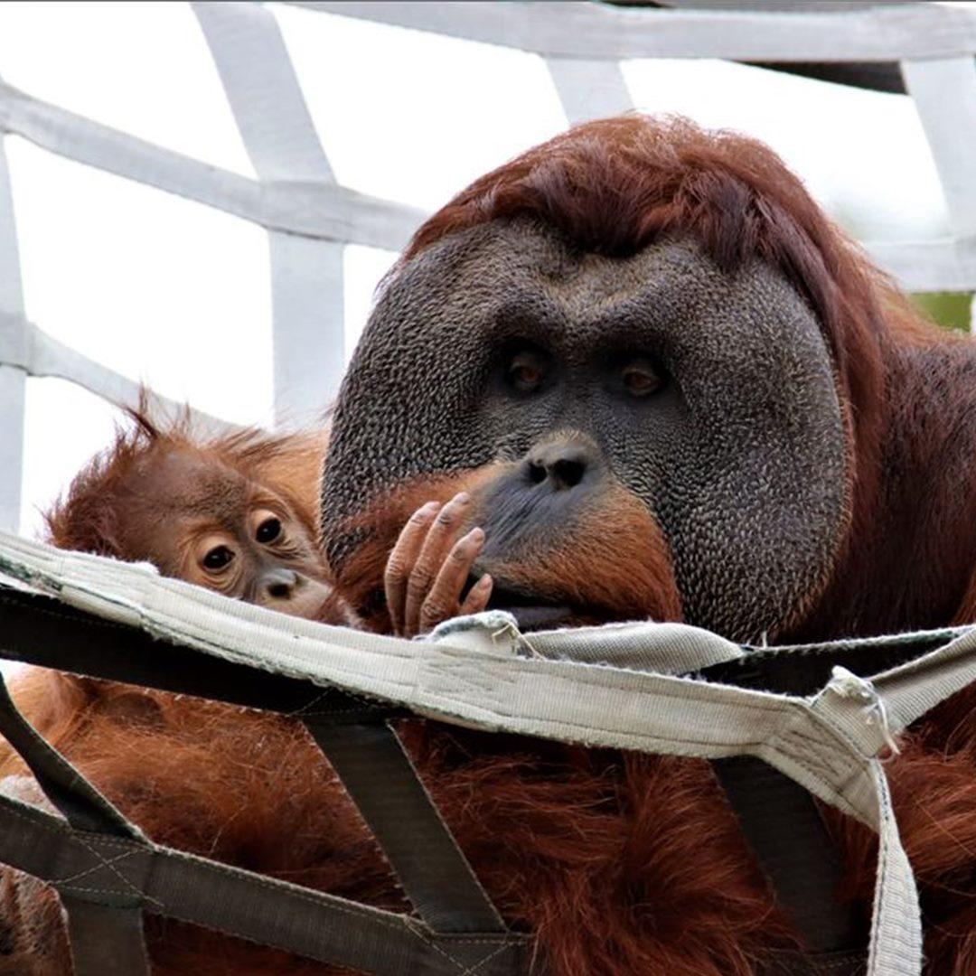orangotango macho cuida da filha depois da morte da mae e comove zoologico 4 - Orangotango macho cuida da filha depois da morte da mãe e comove zoológico