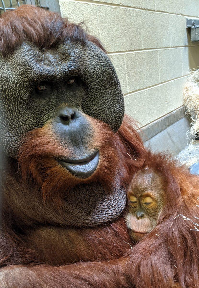 orangotango macho cuida da filha depois da morte da mae e comove zoologico 5 scaled - Orangotango macho cuida da filha depois da morte da mãe e comove zoológico