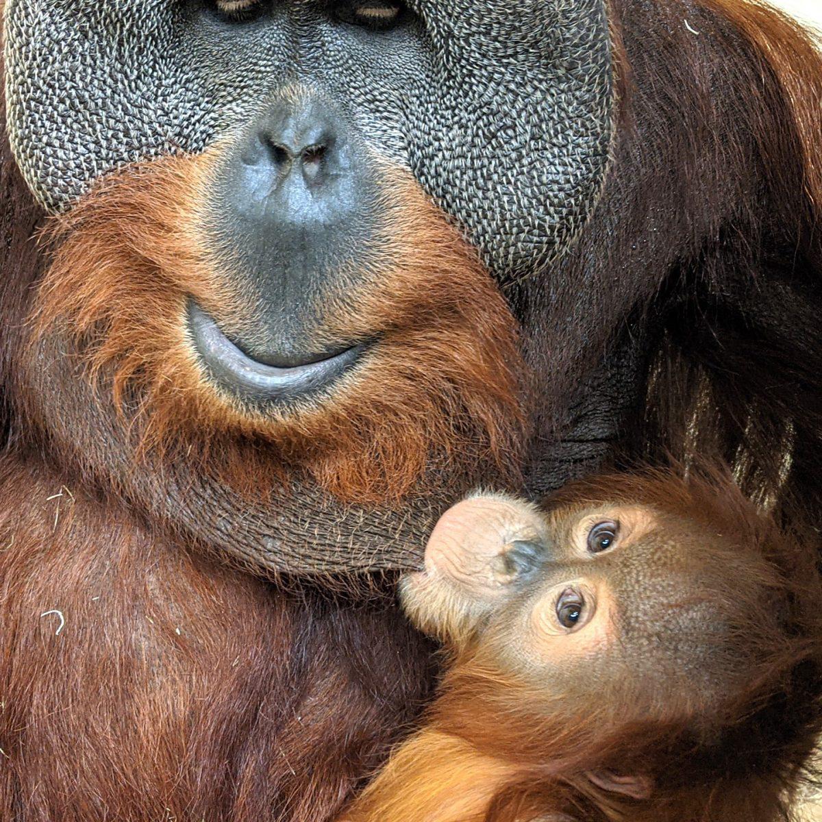 orangotango macho cuida da filha depois da morte da mae e comove zoologico scaled - Orangotango macho cuida da filha depois da morte da mãe e comove zoológico