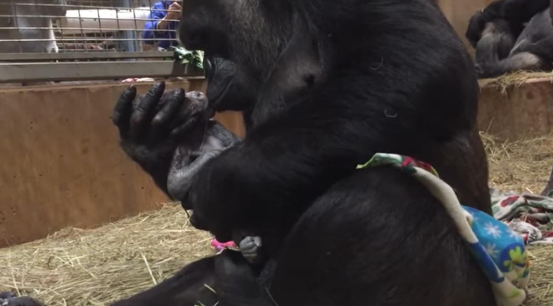 mamae gorila e flagrada mimando e beijando seu bebe recem nascido - Mamãe gorila é flagrada mimando e beijando seu bebê recém-nascido