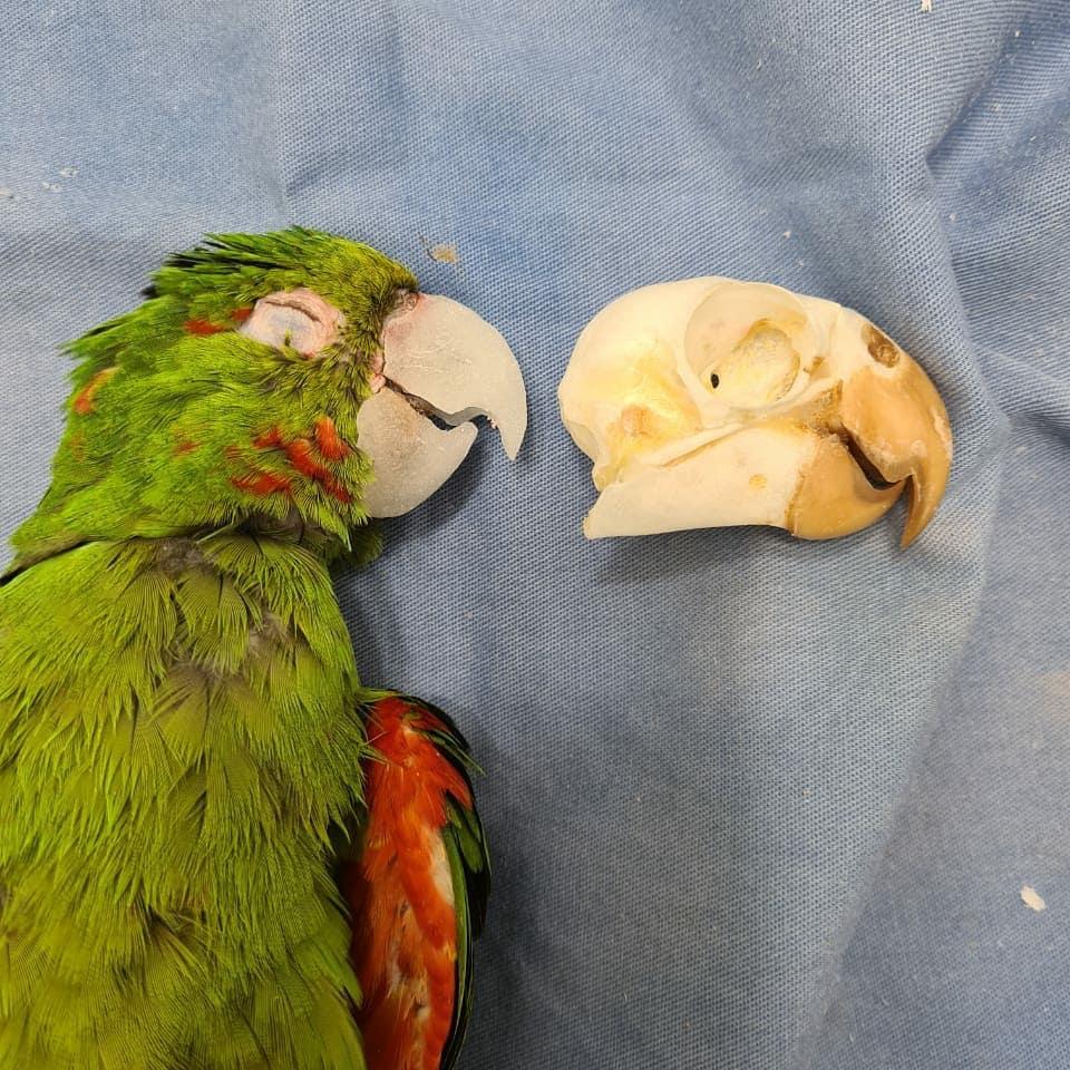 papagaios resgatados ganham nova vida gracas a reconstrucao do bico totalmente feito a mao 2 - Papagaios resgatados ganham nova vida graças à reconstrução do bico totalmente feito à mão