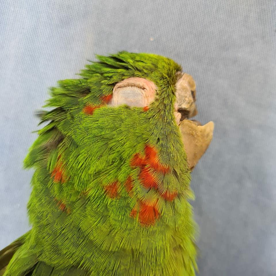 papagaios resgatados ganham nova vida gracas a reconstrucao do bico totalmente feito a mao - Papagaios resgatados ganham nova vida graças à reconstrução do bico totalmente feito à mão